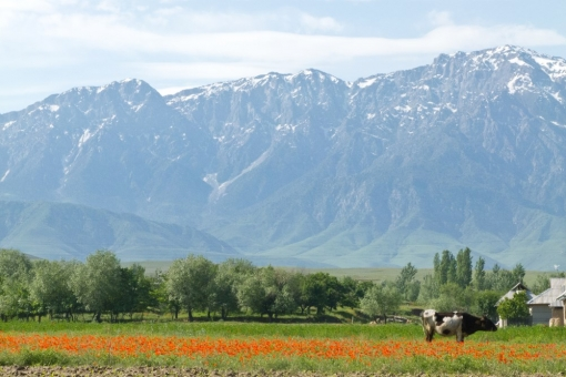 Spring in Tajikistan. Flowering poppies fields