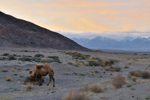 camels on the border of Tajikistan and Afghanistan